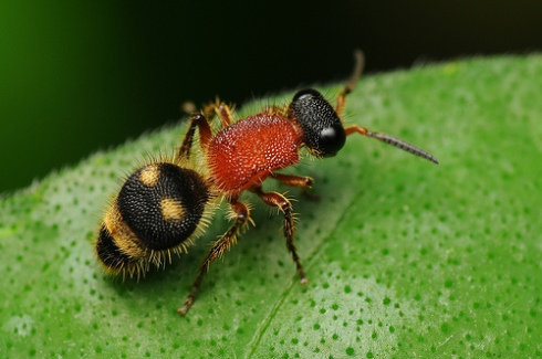 Unknown female Mutillidae wasp (photo by jaiprox)