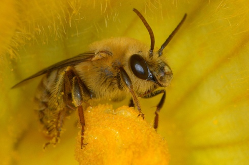 Male Squash bee (Peponapis pruinosa) photo by Douglass Moody