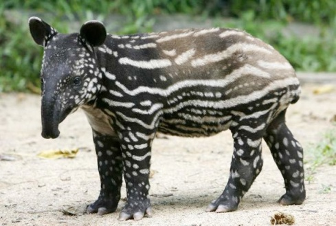 An adorable baby tapir!