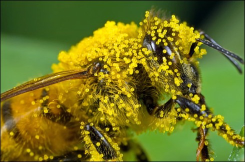 A honeybee seems slightly overwhelmed by large grains of sticky pumpkin pollen (Photograph ©2007 John Kimbler)