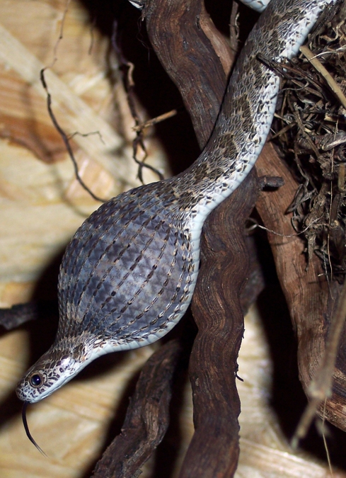 Common egg-eater snake (Dasypeltis scabra). Photo by Mond76