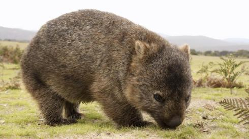 An adult  wombat in the wild