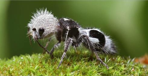Panda Ant - (Mutillidae) photo from rikiblundell