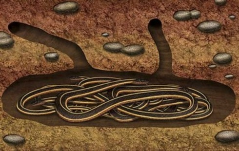 Garter Snakes dormant in a hibernaculum