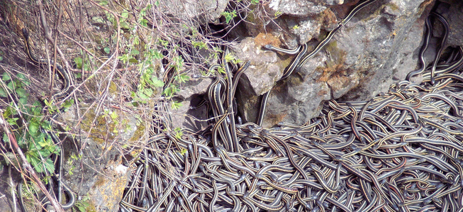 Garter snakes awaken en masse in the spring