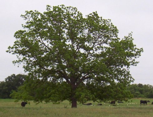 A Pecan Tree in Texas (from tree-pictures.com). That little brown blob in the lower left is a cow.