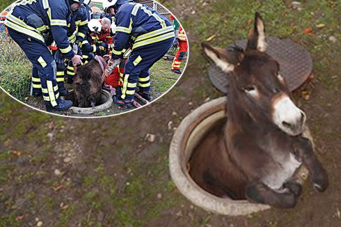 This-donkey-was-stuck-in-a-hole-in-the-ground