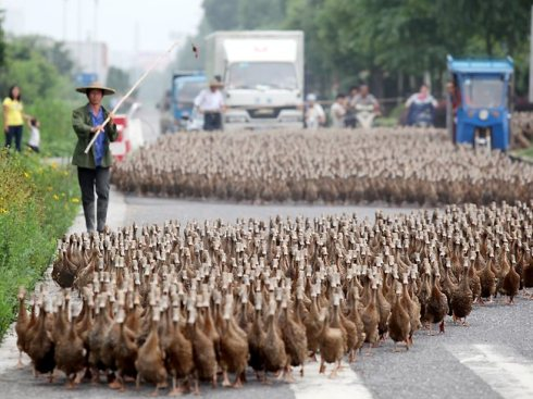 A contemporary duck farmer in China leads his charges along a busy street.