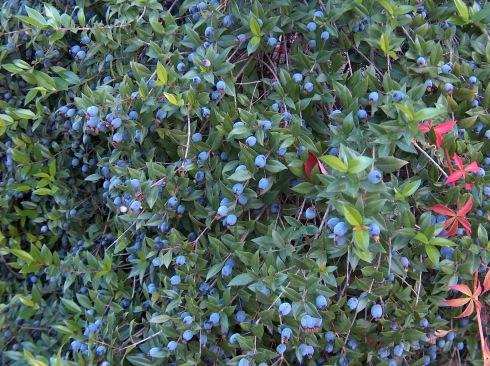 Common Myrtle (Myrtus Communis)