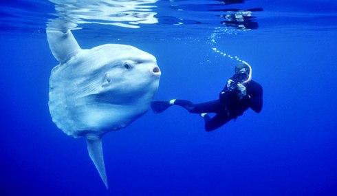 Ocean Sunfish (Mola mola) with human diver