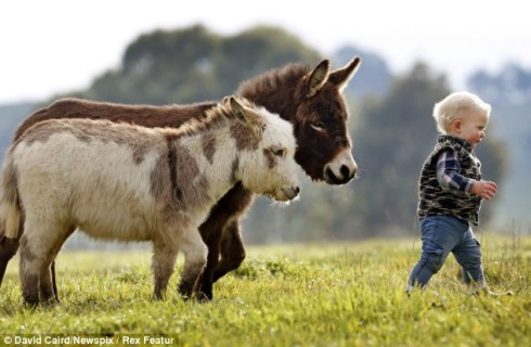 Miniature donkeys snuggle Pot and Cuddle Pie with a toddler (photo by David Caird via the Daily Mail)