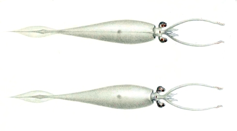 Belonella belone