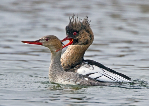 Mergansers desport amorously (photo by Marco Valentini)