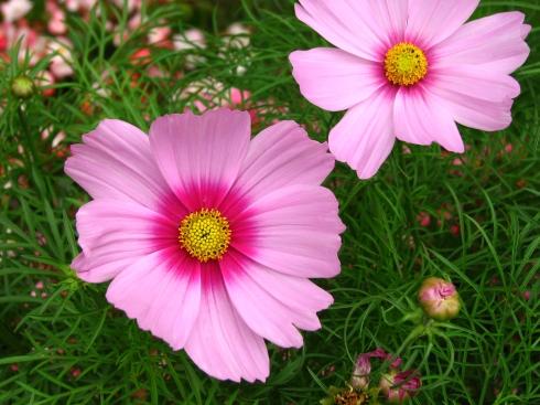A circular cosmos pink cosmos