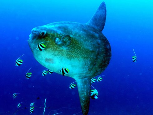 Ocean Sunfish (Mola mola) with school of wimplefish