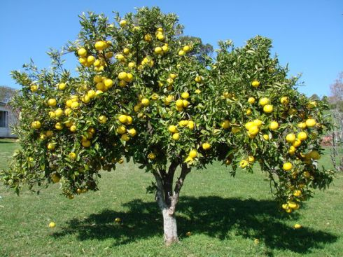 A beautiful grapefruit tree