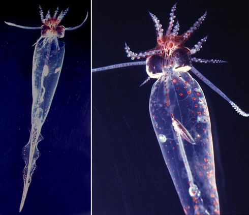 Glass Squid (Taonius belone) off Hawaii. Photograph by R. Young.