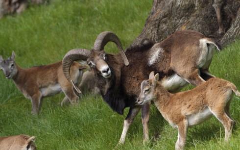 Wild mouflon (Ovis aries orietalis) on Cyprus .
