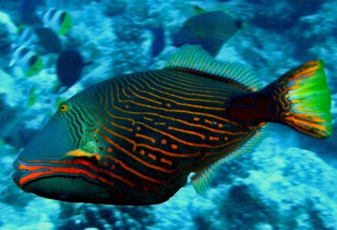 Orange-lined Triggerfish (Balistapus undulatus) photo by