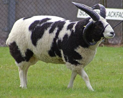 The Jacob sheep