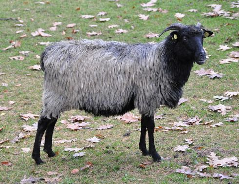 The heidschnucke sheep