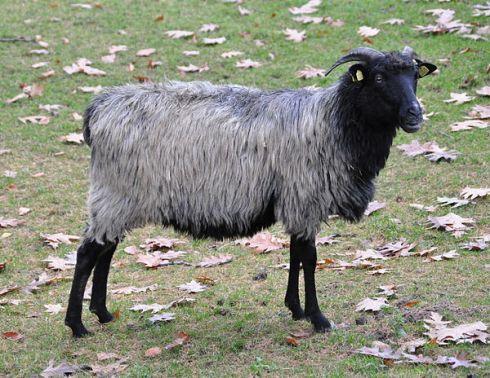 The heidschnucke sheep
