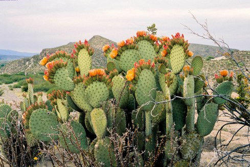 Blind-Eye Prickly Pear