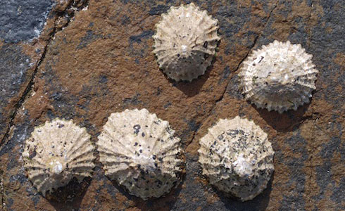 Common limpets (Patella vulgata) adhering to tidal zone rocks