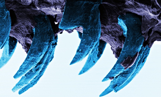 A (horrifying) microscopic picture of limpet's teeth