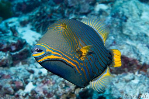 Balistapus undulatus off the Similan Islands of Thailand (photo by Thierry Rakotoarivelo)