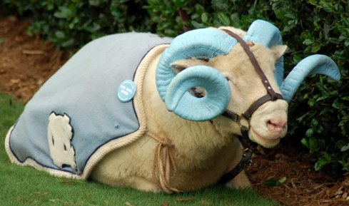 Rameses, a live Dorset ram, is the mascot of the North Carolina Tar Heels.  look how magnificently his horns are painted!
