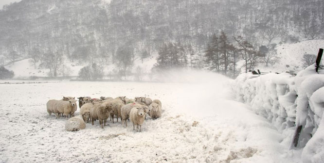Sheep in a winter snowstorm