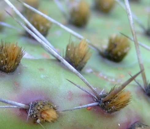 Succu_Opuntia_howeyi_02_detail_-_spines_and_glochids