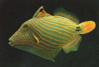 The juvenile orange-lined triggerfish is triangular so that it is unpleasant to swallow and even more effective at wedging itself in crevices