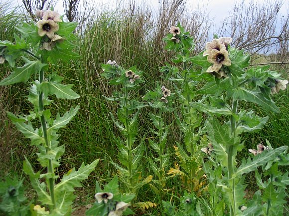 Henbane (Hyoscyamus niger) photo by Robert Seago