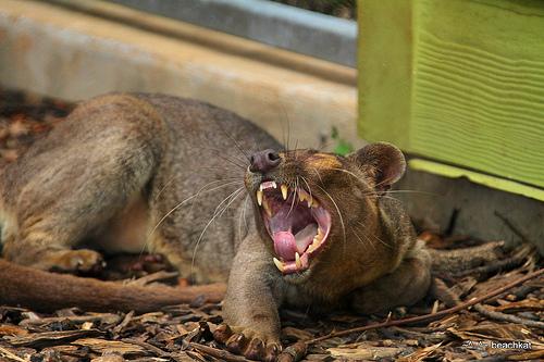 Fossa yawning (photo by beachkat1)