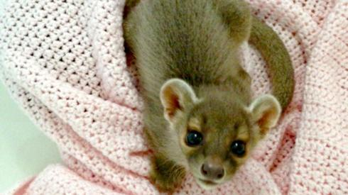A Fossa Cubs born at Catoctin Wildlife Preserve in Maryland