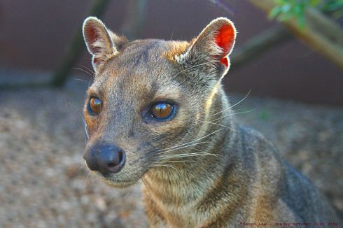 A Fossa (Cryptoprocta ferox); photo by Keven Law)