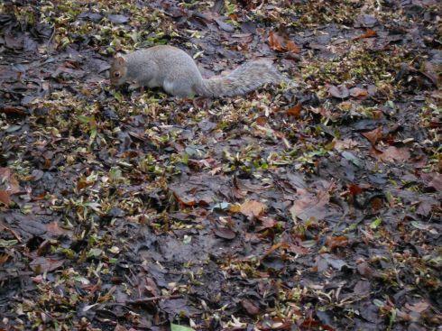 Squirrel-damage-Pulmonaria-19792100H-popup4