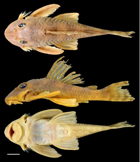 Peckoltia greedoi (Armbruster/Auburn University)