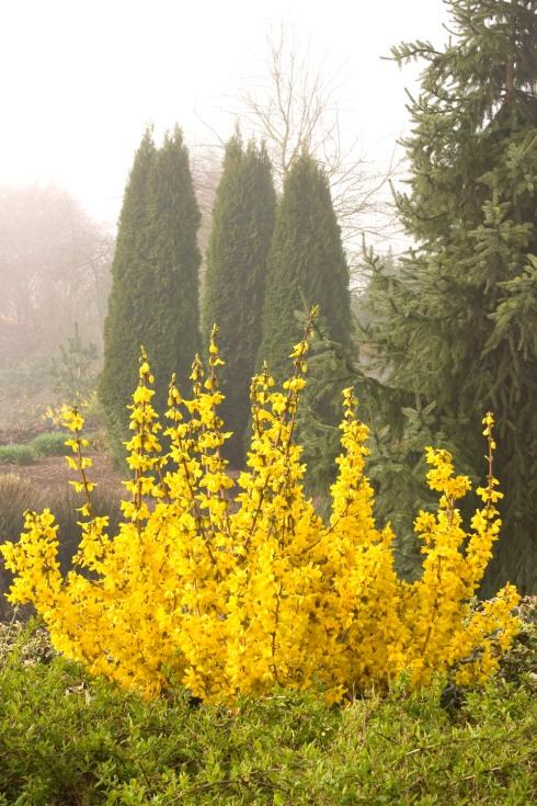 Forsythia in a formal garden