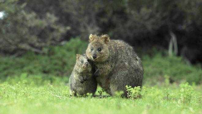 Quokka with offspring