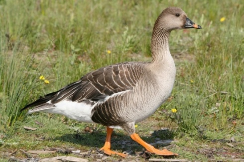 Bean Goose (Anser fabalis).  I'm not entirely convinced--I think Dave Dunford still has the best explanation