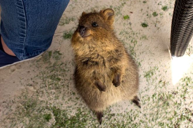 A quokka hanging out with regulars at the Rottnest Island pub