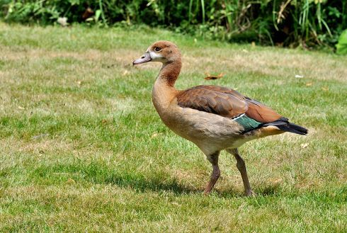 Juvenile Egyptian Goose (Alopochen aegyptiacus).  Note the complete dissimilarity to the painting above.