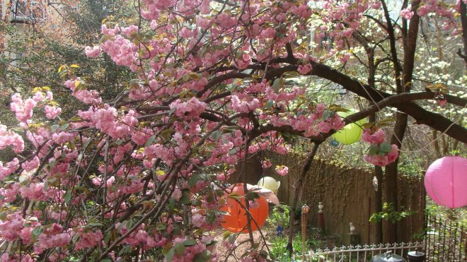 The ornamental cherry tree in the back yard circa present!