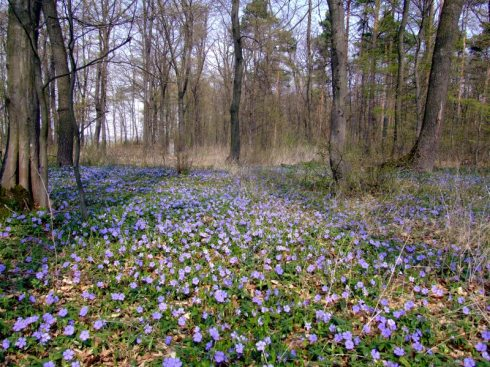 A magnificent carpet of lesser periwinkles (Vinca minor) near Vienna in Austria (photo: landschaftsfotos.at)