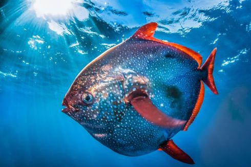 An opah near San Clemente Island (Jane J. Lee for National Geographic)