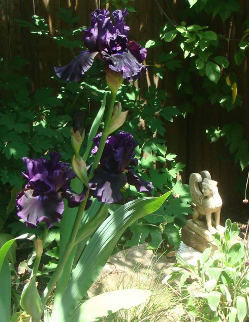 My Iris!  The picture doesn't do it justice at all.  It is so lovely...