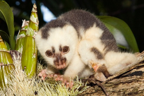 Infant common spotted cuscus (photo by Ryan Photographic)